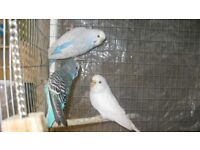 budgies for sale various ages (no babys)