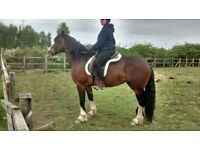 Lovely Welsh D x Cob Mare