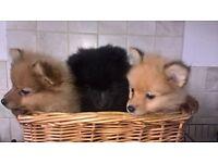 one stunning male pomeranian puppy left