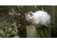 Missing White Female Long - haired cat with black markings on head BD22 7AW.