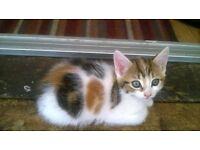 long hair calico female kitten