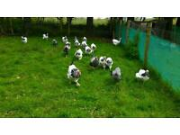 Pure bred chickens for sale