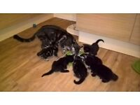 Kittens 5 weeks old, 3 female brown/black and 3 male tabbies