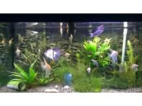 Angelfish 2inch - 3 inch Marble, Golden, Zebra and Silver ( Tropical Fish)