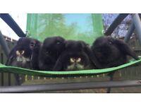 Stunning mini-lop babies