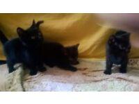 3 Fully black cute kittens