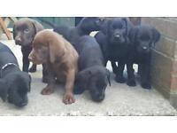 Labrador puppies kc reg