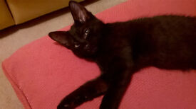 Beautiful Jet Black female Kitten