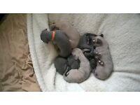 italian greyhoundxwhippet puppies