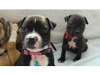 Staffordshire Bull terrier puppies for sale