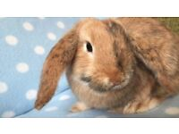 mini lop bunnies ready for homes