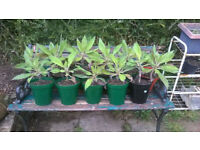 "GIANT ECHIUM PININANA "" BLUE TOER OF JEWELS "" FOR SALE."
