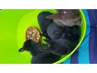 Black baby bunnies ossett