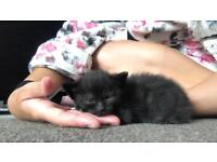 Two beautiful black kittens for sale