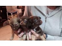 Stunning Tiny Long Coat boy Chihuahua puppies. Ready to go this weekend.