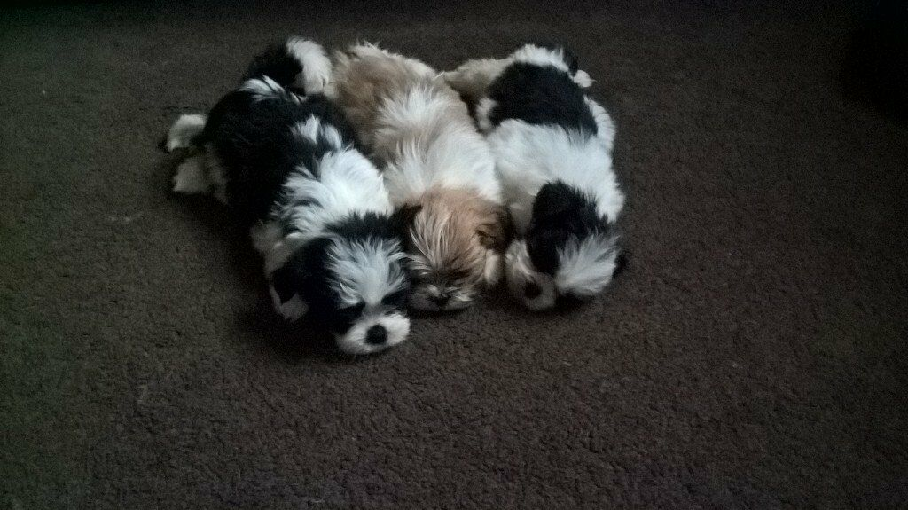 Free Ads Dogs For Sale Doncaster