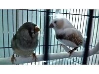 A couple of lovely zebra finches