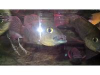 Mozambique Tilapia Africa Cichlids Malawi Live Freshwater Aquarium Fish