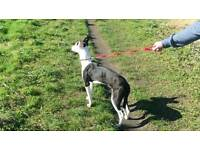 Collie bull greyhound for sale 50 oni