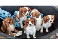 Beautiful Cavarlier King Charles Puppies