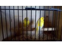 Young canaries for sale. fit and healthy. Fifes, irish fancy, Yellow. aviary bred.