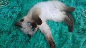 Ragdoll Seal Point Birman kittens ready for forever home