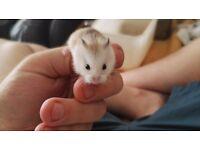 Roborovski dwarf baby hamsters fro sale