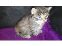 3 gorgeous female Bengal X kittens for sale