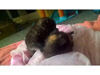 beautifull fluffy tabby kitten girls for sale