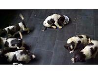 full bred springer spaniel pups for sale ..kc registered ready to go....3 left