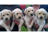 Yellow Labrador Puppies KC Reg