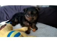 LOVELY MINIATURE YORKSHIRE TERRIER PUPPY GIRL