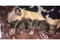 6 KC Pedigree French Bulldog Pups
