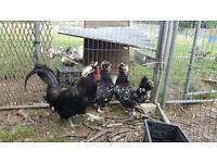 Trio of Howden chickens