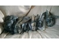 GORGEOUS BABY BUNNIES - ONLY £15 EACH - READY NOW!