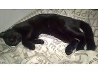 all black male kitten