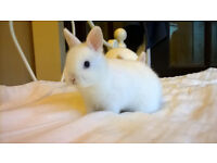 pure bred blue eyed white netherland dwarf buck now reserved