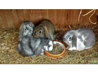 Only 2 beautiful mini lop babies left