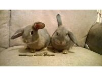 Baby Young Male Rabbits Rex Mix - £15 each