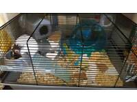 Syrian Hamster with large cage and accessories