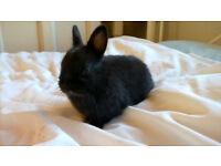 little ebony netherland dwarf boy available in one week