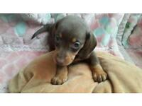 Miniature Dachshund puppies need loving home