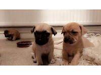 4 beautiful puppies up for sale