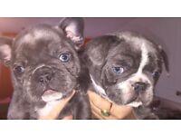 Stunning french bulldog puppys