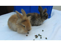 Rabbits For Sale £10 each 2/3 months old