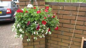 Beautiful Hanging Baskets - full of summer bedding plants (Avail. from 16 June) Holcombe