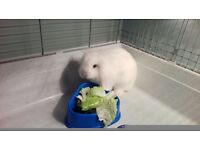 Mini Lion Lops and cage 100 cm