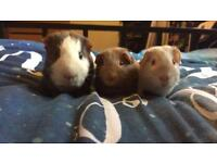 Guinea pigs and cage