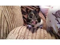 Hamster (Syrian)