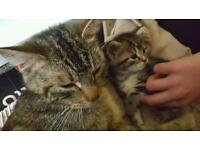 PLEASE READ UPDATE - garden shed cats Tabby and kittens Need rehoming asap